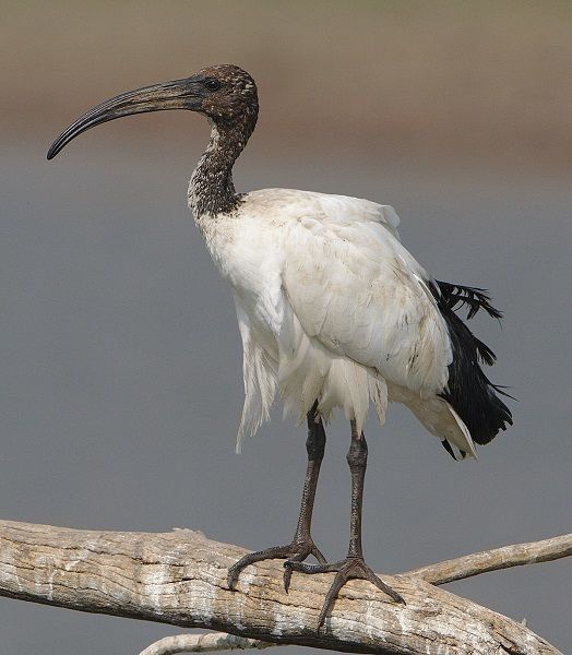 ibis africano